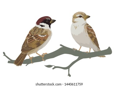 Couple of realistic sparrows sitting on branch. Colorful illustration of little birds sparrows in hand drawn realistic style on white background. Element for your design, print.
