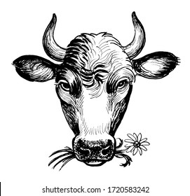 Cow chewing flower. Ink black and white drawing