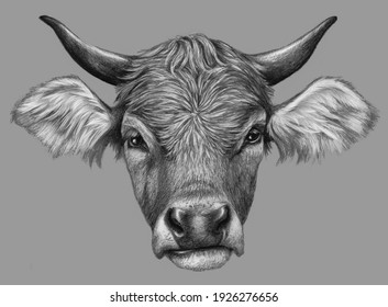 Cow head isolated on grey background. Pencil drawing. Realistic monochrome detailed drawing of an animal.