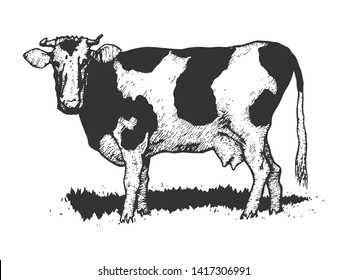 Cow rural farm animal sketch engraving raster illustration. Scratch board style imitation. Black and white hand drawn image.