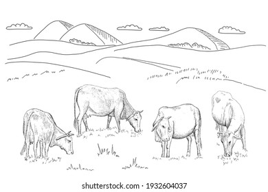 Cows grazing on meadow. Illustration in vintage engraved style on white background. Line art style. Raster copy.