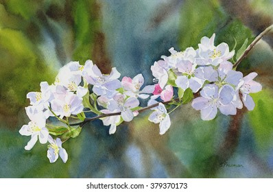 Crab Apple Blossoms with Background.  Watercolor painting of white and pink crab apple blossoms with a painted multicolored background.