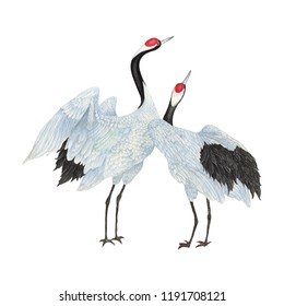 Crane drawn sketch and watercolor illustrations. Watercolor painting Crane . Crane  Illustration isolated on white background.