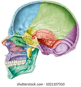Cranial cavity. The bones of the cranium, the bones of the head, skull. The individual bones and their salient features in different colors. Sagittal section.