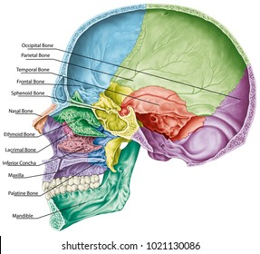 Cranial cavity. The bones of the cranium, the bones of the head, skull. The individual bones and their salient features in different colors. The names of the cranial bones. Sagittal section.