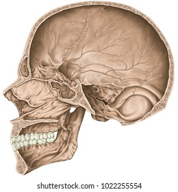 Cranial cavity. The bones of the cranium, the bones of the head, skull. Openings for nerves and blood vessels, foramens and processes. Parasagittal section.