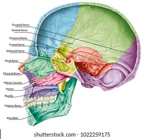 Cranial cavity. The bones of the cranium, the bones of the head, skull. The individual bones and their salient features in different colors. The names of the cranial bones. Parasagittal section.