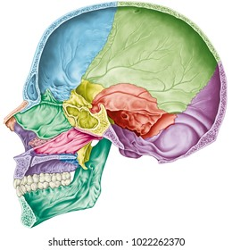 Cranial cavity. The bones of the cranium, the bones of the head, skull. The individual bones and their salient features in different colors. Parasagittal section.