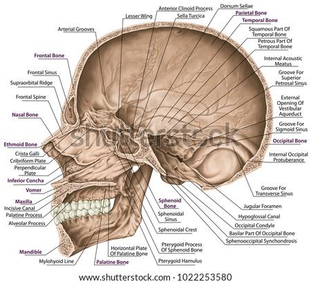 cranial cavity bones cranium head 450w 1022253580 cranial cavity diagram schematic wiring diagrams