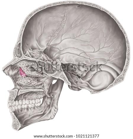Cranial Cavity Lacrimal Bone Cranium Bones Stock Illustration ...