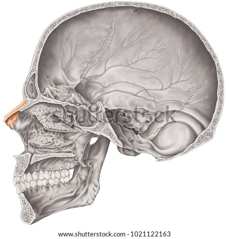 Cranial Cavity Nasal Bone Cranium Bones Stock Illustration ...
