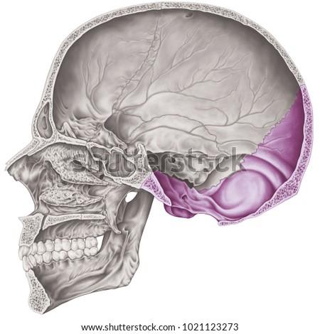 Cranial Cavity Occipital Bone Cranium Bones Stock Illustration