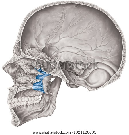 Cranial Cavity Palatine Bone Cranium Bones Stock Illustration ...