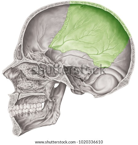 Cranial Cavity Parietal Bone Cranium Bones Stock Illustration ...