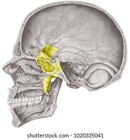 Cranial cavity. The sphenoid bone of the cranium, the bones of the head, skull. The individual bones and their salient features in different colors. Sagittal section.