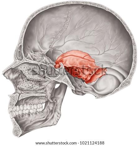 Cranial Cavity Temporal Bone Cranium Bones Stock Illustration