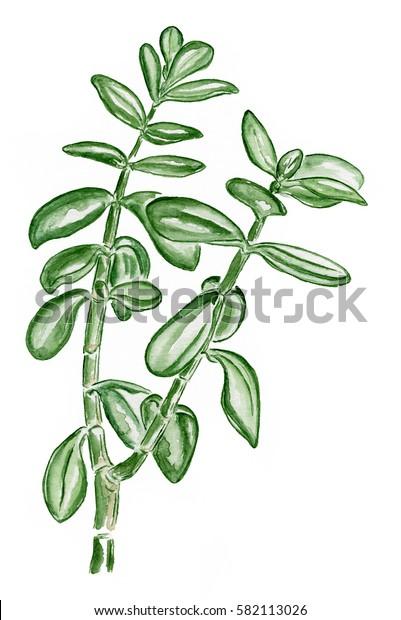 Crassula pot plant watercolour
