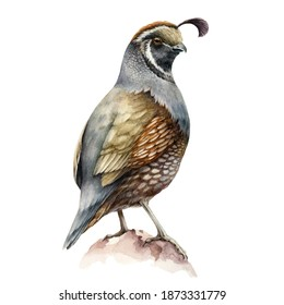 Crested quail bird watercolor illustration. California male quail brown bird image on white background. Realistic hand drawn small avian with crest.
