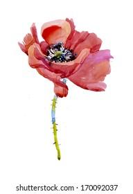 Crimson poppy illustration