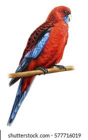 Crimson Rosella parrot drawing
