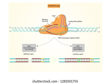 CRISPR/Cas9 biotechnology (medical terms and acronyms are used)