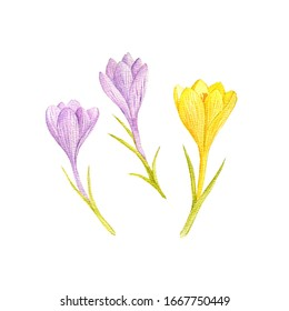 crocus flowers drawing by watercolor, hand drawn illustration