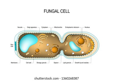 Cross section of a Fungal hyphae cells (septum; bud scar, mitochondrion; vacuole; nucleus; endoplasmic reticulum; lipid granule; membrane; golgi apparatus, and growth tip and vesicles). diagram
