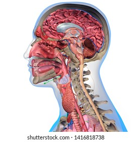 Cross Section of Man's Head Anatomy, 3D Rendering on White Background