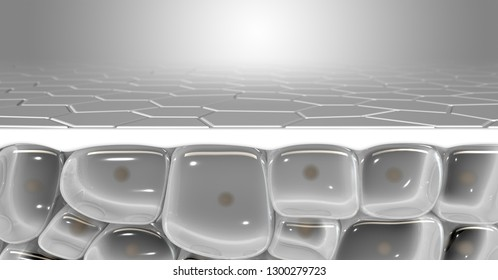 A cross section scientific view of a skins top layer and eperdermis cells sub layer beneath it on an isolated background - 3D render