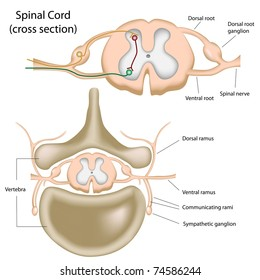 Cross section of the spinal cord