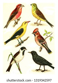 Crossbill, Goldammer, Waxwing, Oriole, Starling, Reed Bunting, vintage engraved illustration. From Deutch Birds of Europe Atlas.