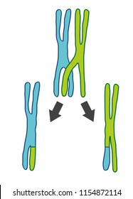 Crossing over is the exchange of genetic segments of chromosomes. In the process the chromosomes break and reconnect again.