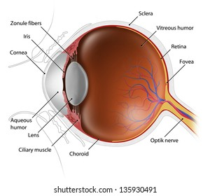 cross-section illustration of human eye