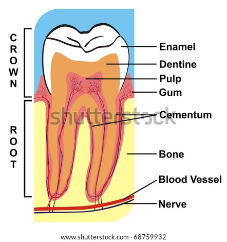 Cross section of a tooth diagram data wiring diagrams cross section tooth crown root including parts stock illustration rh shutterstock com gear tooth cross section tooth nerves diagram ccuart Gallery