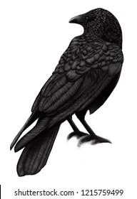 crow illustration,black birds ravens on white background,painted bird is a Raven