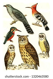 Cuckoo, Hoopoe, Kingfisher, Barn Owl, Brown owl, Eagle Owl, vintage engraved illustration. From Deutch Birds of Europe Atlas.
