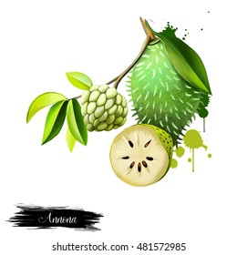 Custard apple fruit, Annona squamosa. Annona species are taprooted, evergreen or semideciduous, tropical trees or shrubs. Guanabana, Graviola and Soursop. Fruits of the world collection. Digital art