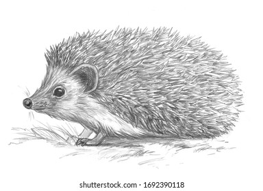 Cute hedgehog pencil sketch on white background. Shaded black and white realistic pencil drawing illustration. Wildlife, fauna, pets, woodland forest animals theme.