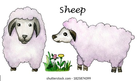 Cute sheep family. Farm animals. Two lambs. Hand drawn watercolor elements. Isolated on white background.