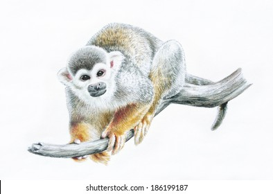 Cute sketch of a common squirrel monkey perched on a tree branch in a Chinese New Year 2016 year of the monkey concept design that is a hand drawn animal illustration in colored pencils.