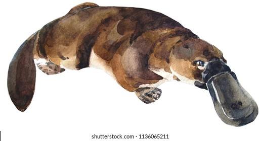 cute watercolor australian platypus
