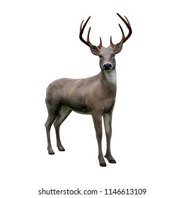 cute white tailed deer looking at camera, isolated on white background, 3d rendering
