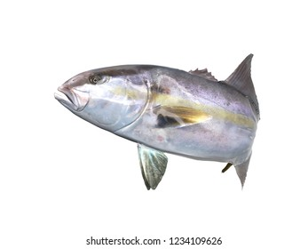 Cutout transparent image of greater amberjack fish with curved tail 3d Render i isolated