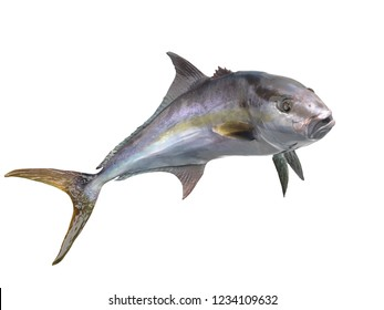 Cutout transparent image of greater amberjack fish 3d Render in great pose isolated