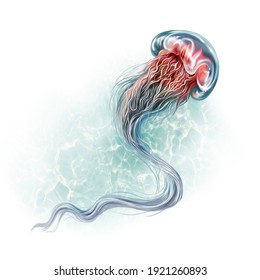 Cyanea capillata (Cyanea arctica), jellyfish in water realistic drawing illustration for ocean and northern seas encyclopedia, isolated image on white background