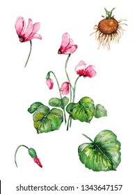 Cyclamen plant set. Botanical presentation of medicinal herb pink cyclamen with buds, flowers, leafs and tuber root. Watercolor drawing isolated on white.