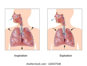 Cycle of breathing, inspiration and expiration