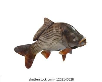 Cyprinus carpio pond carp fish isolated background 3d render