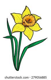 Daffodil Flower Illustration