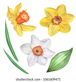 Daffodils set. Isolated on white. Watercolor illustration. Hand drawing.